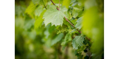 Vines_PAWine